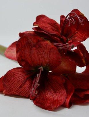 Red Fresh-Cut Amaryllis