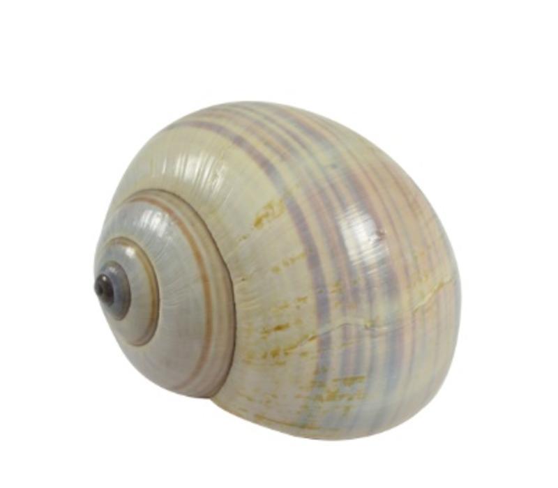Philippine Land Snail