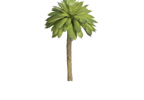 Small Green Echeveria Succulent