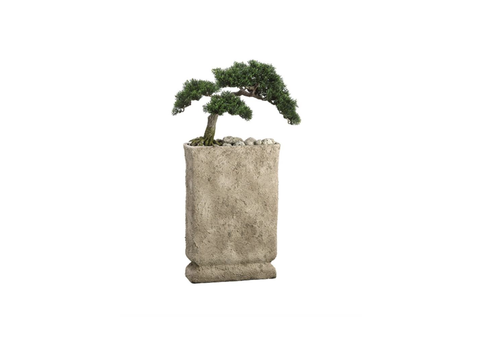 Cedar Bonsai in Cement Pot