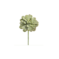 Small Aeonium Succulent