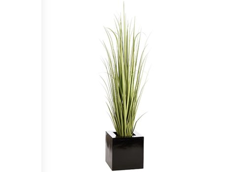 Reed Grass in Square Planter