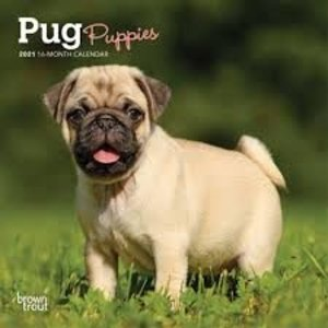 BrownTrout Publishers Pug Puppies 2021 16 Month Mini Calendar