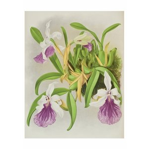 Pomegranate Orchids 20 Boxed Notecards