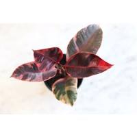 "4"" Ficus Decora Ruby"