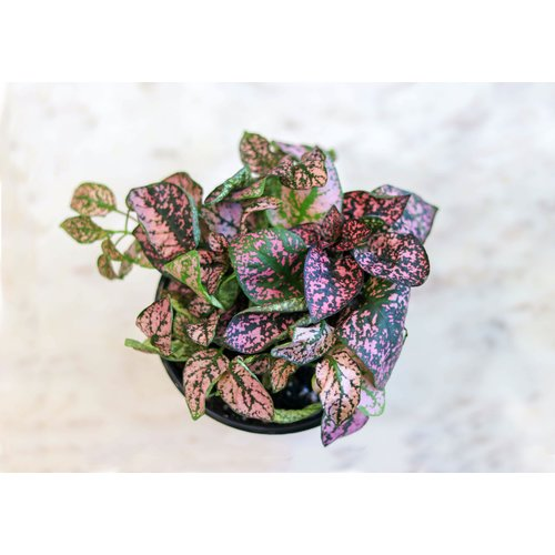 "4"" Hypoestes Splash"