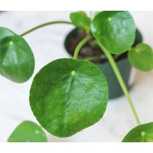 "4""Pilea Peperomiodes (Chinese Money Plant)"