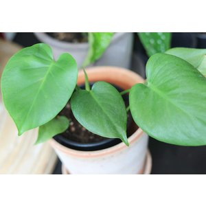 """5"""" Philodendron Monstera"""