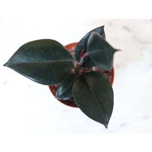 "4"" Ficus Burgundy"