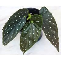 """4"""" Angelwing Begonia"""