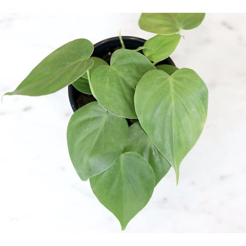 "4"" Philodendron Cordatum"