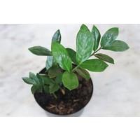 """6"""" Zamioculcas Zamifolia ZZ Plant"""
