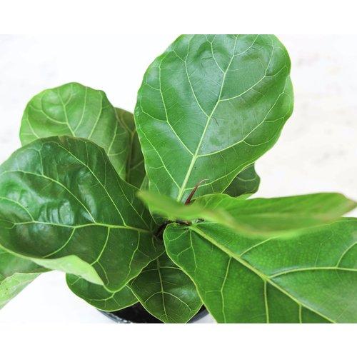 """10"""" Ficus Lyrata Tree"""