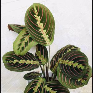"5"" Maranta Red (Prayer Plant)"