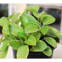 "4"" Variegated Peperomia Asst."