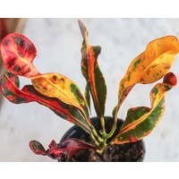 """4"""" Croton Mamie"""