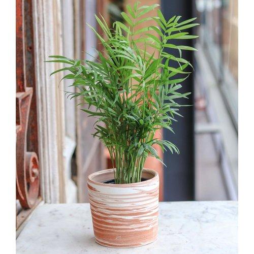 "4"" Neanthe Bella Palm"
