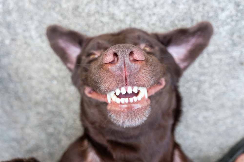 February is National Pet Health Dental Month