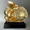 Ammonite Fossil #132