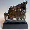 - Fossilized Mammoth Molar #297
