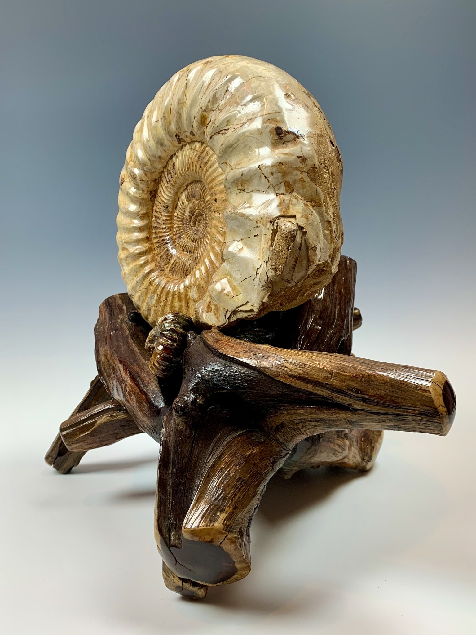 - Ammonite Fossil on Rose Wood #318