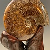 -Ammonite Fossil and Rosewood #320