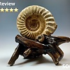 Ammonite Fossil on Rose Wood #318
