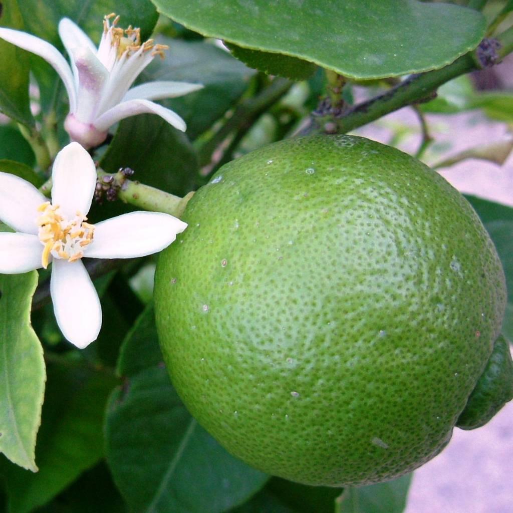 Huile essentielle de lime (citron vert)
