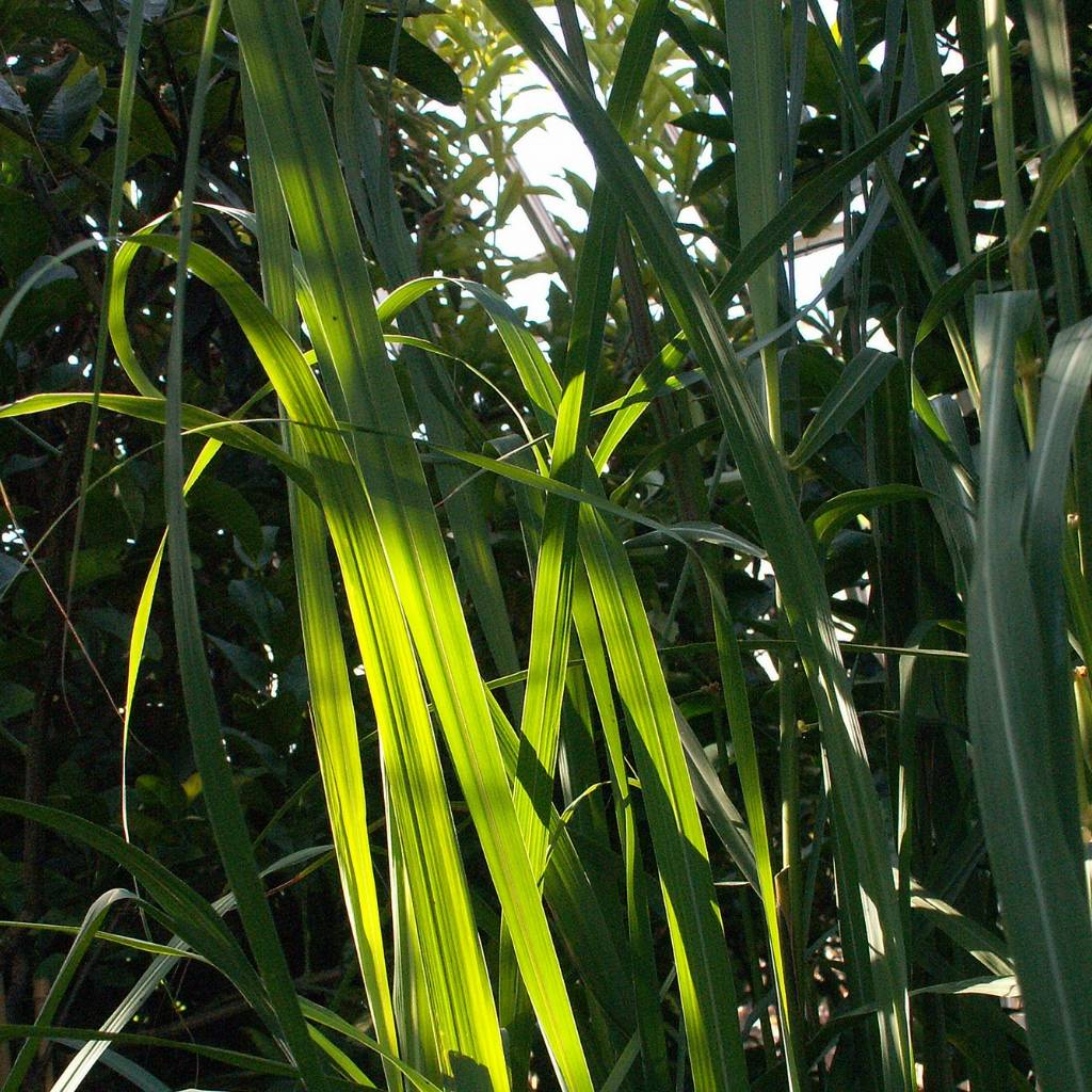 Huile essentielle de lemongrass (verveine des Indes)