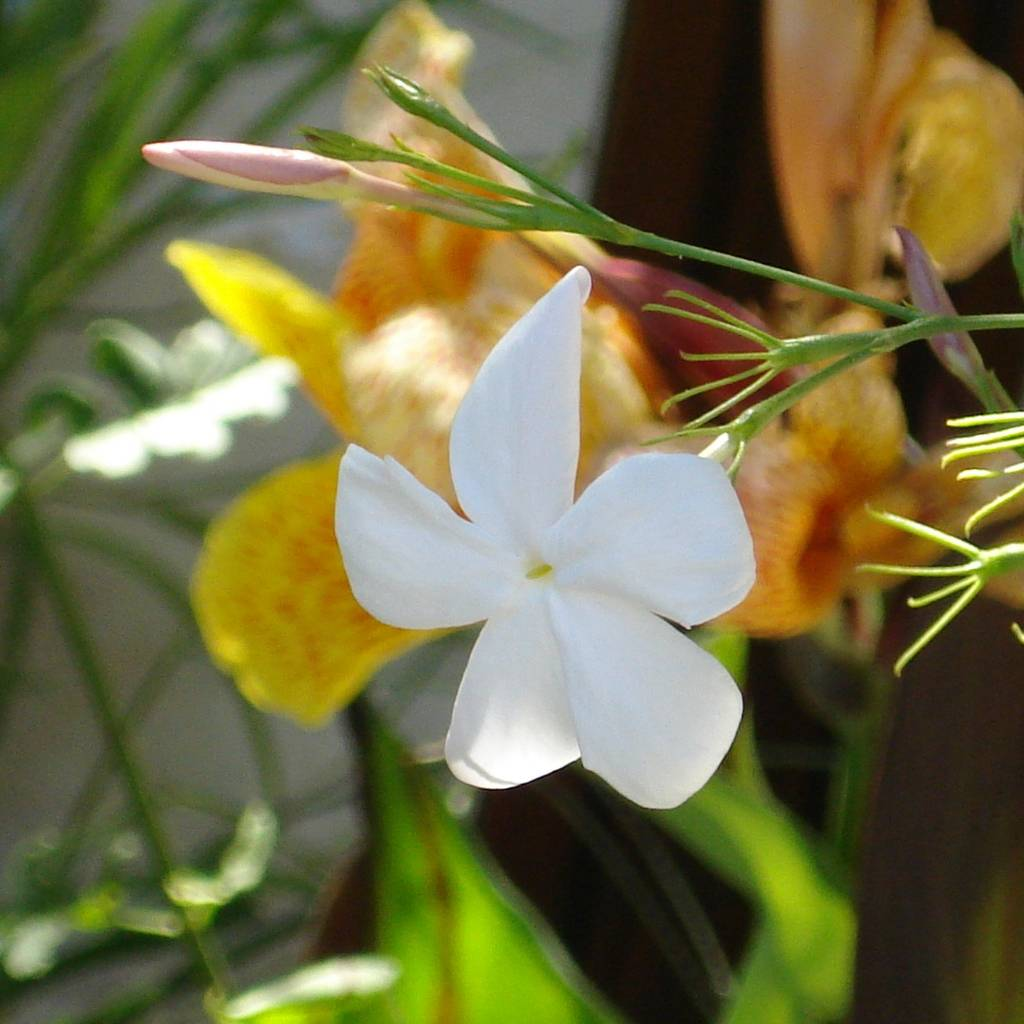 Huile essentielle de jasmin grandiflorum (absolue)