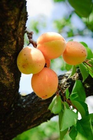 huile de noyau abricot