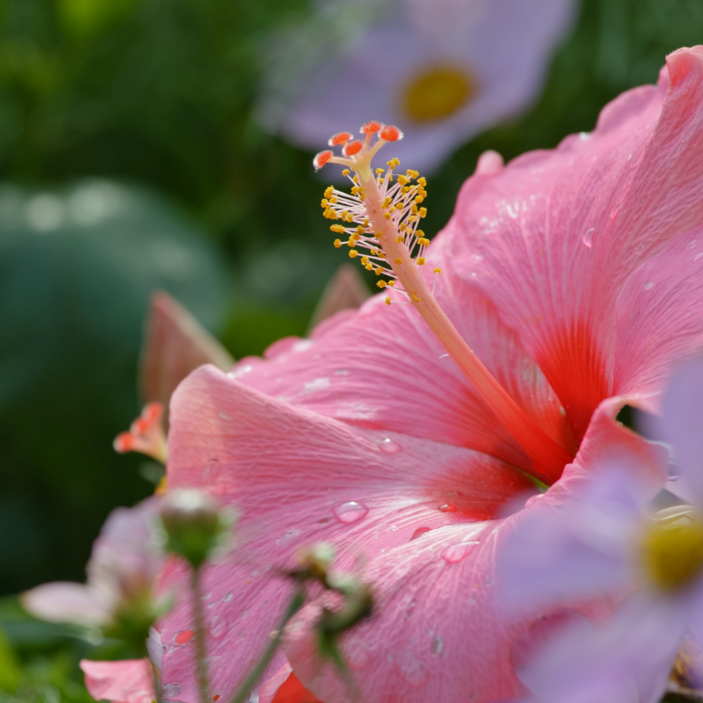 extrait hibiscus