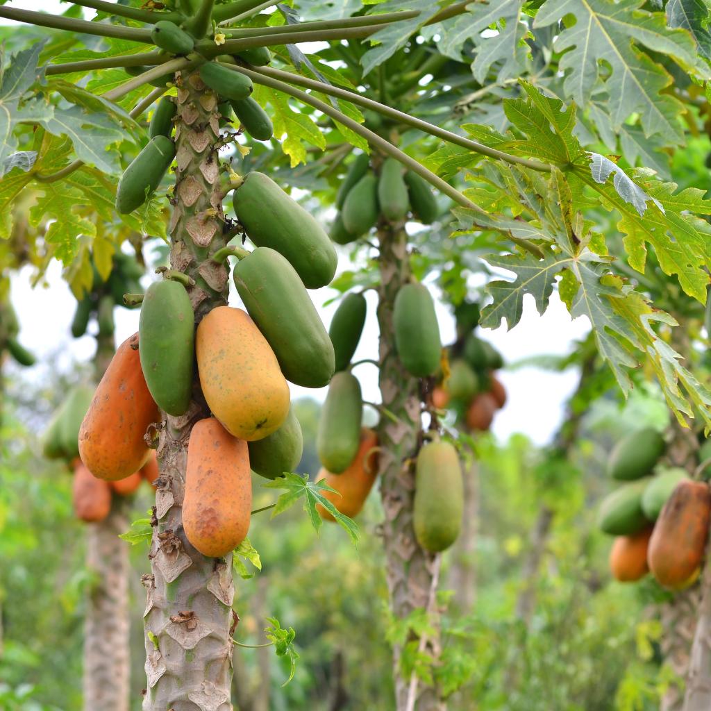 extrait papaye