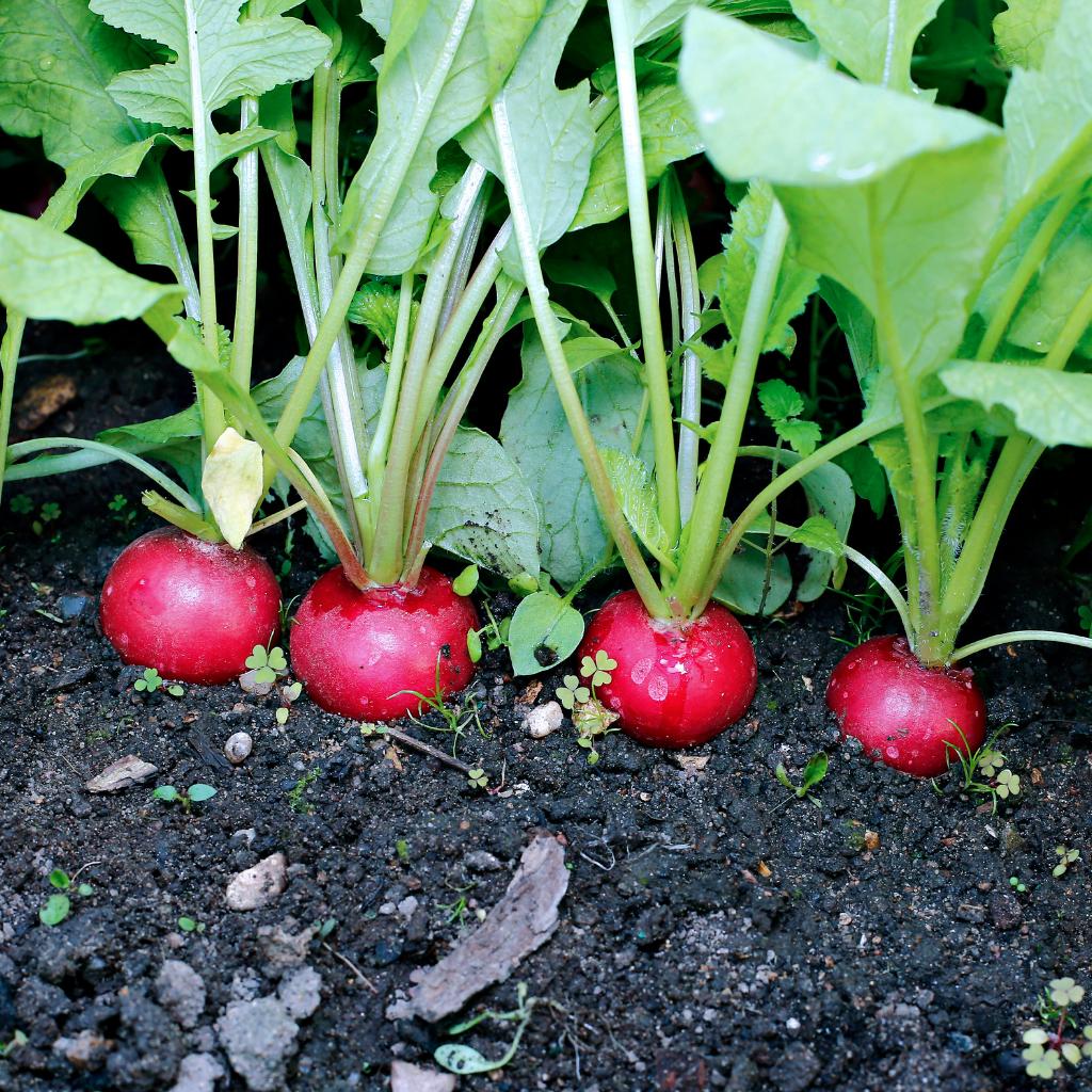 extrait radis