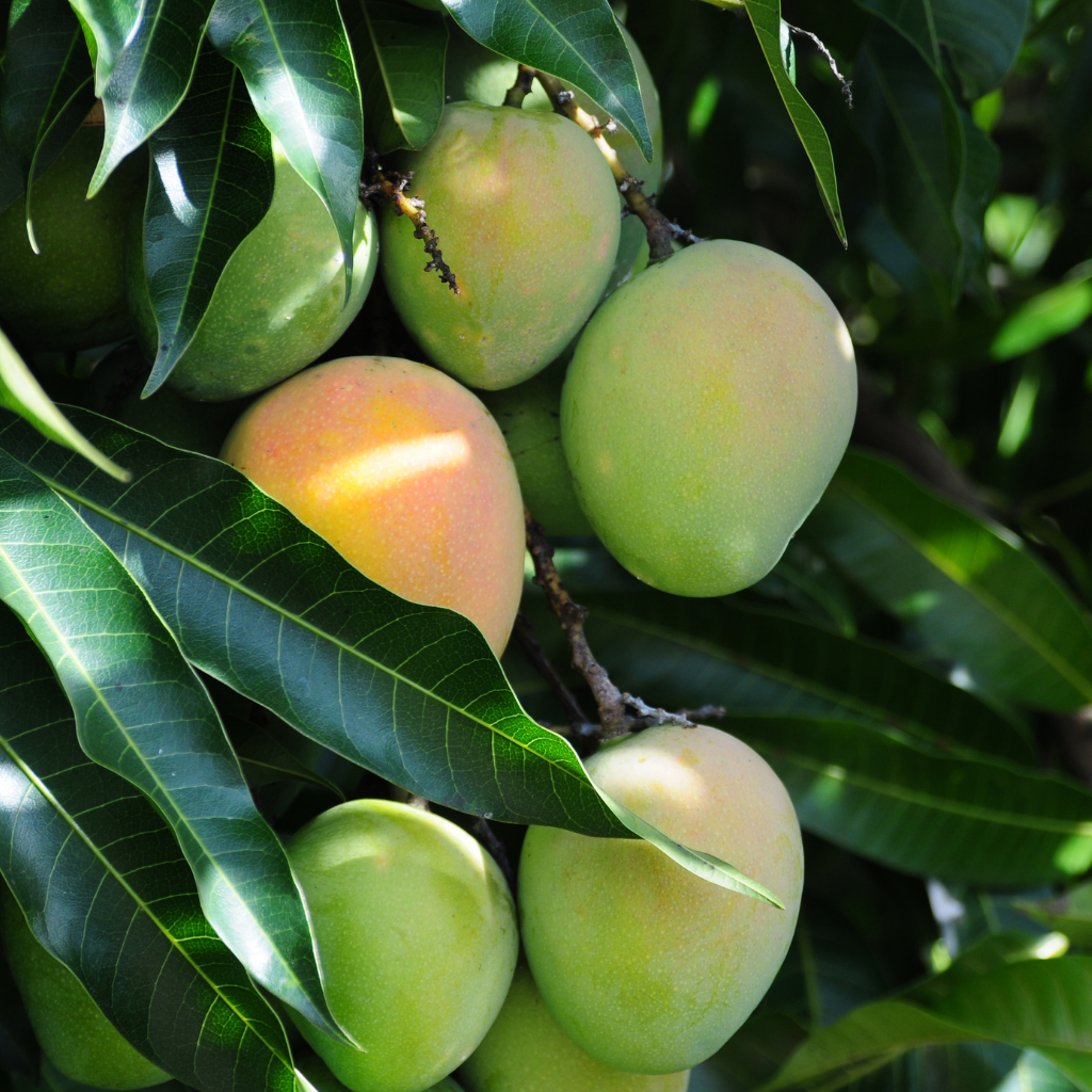 extrait mangue
