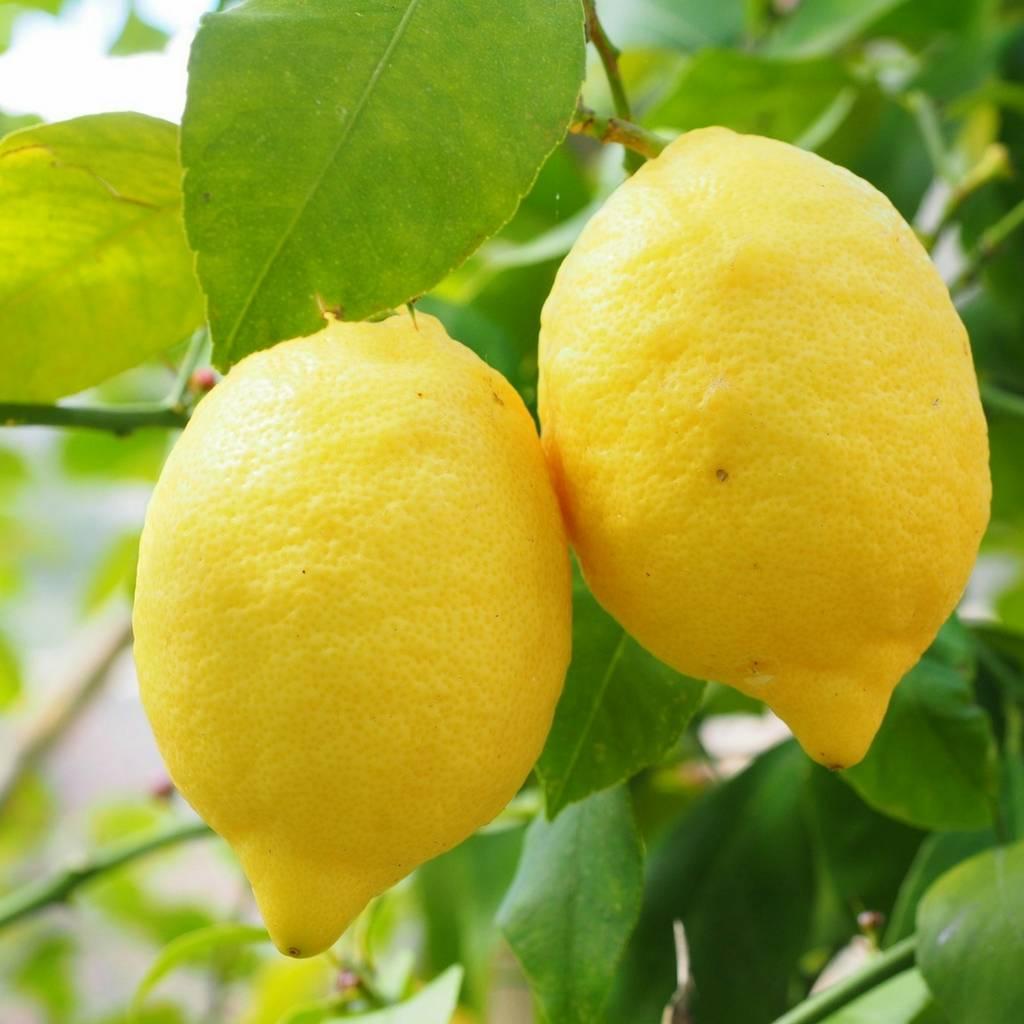 Huile essentielle de citron (essence)
