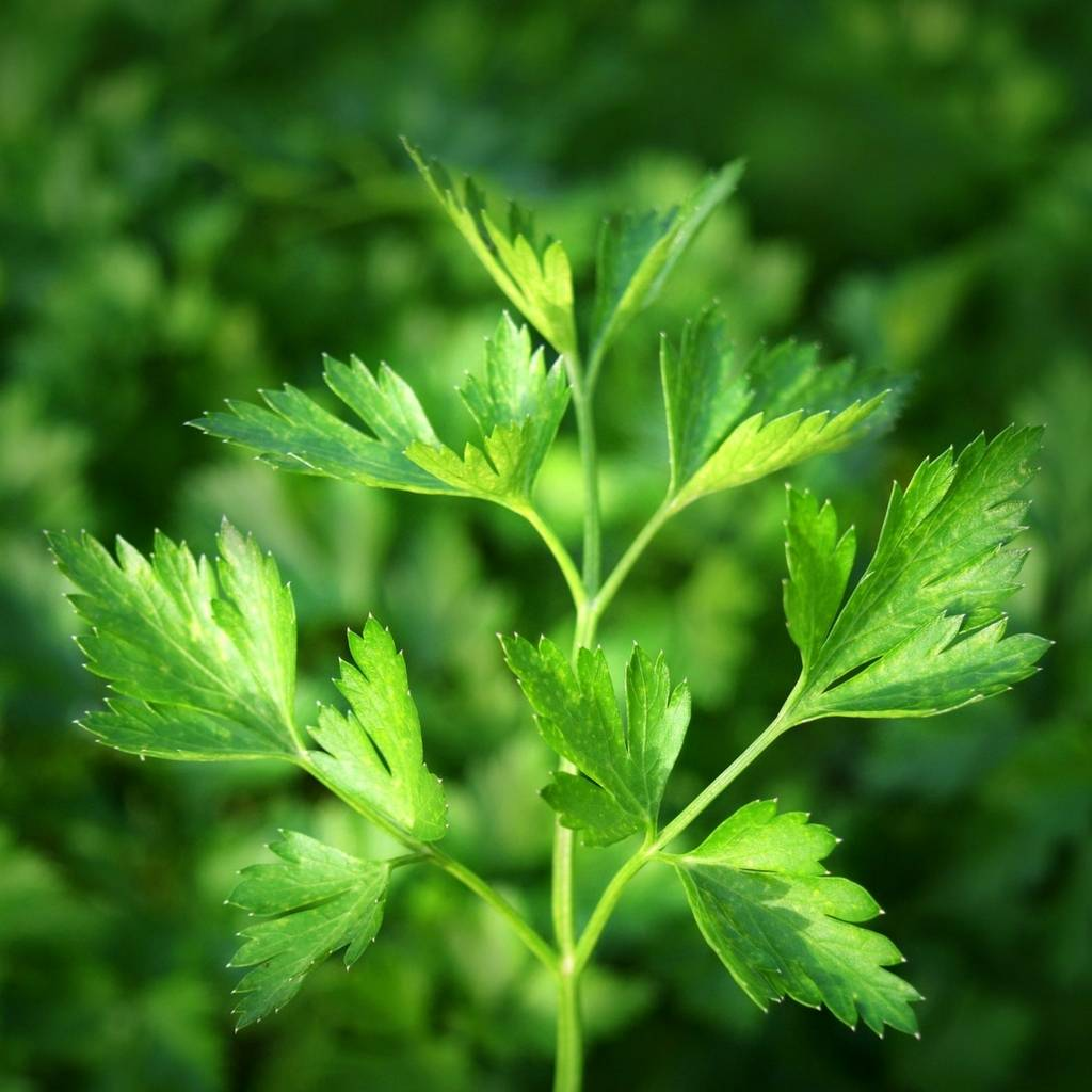 Parsley Essential Oil