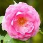 Huile essentielle de rose de Damas (absolue)