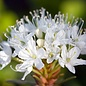 Labrador Tea (Ledum groenlandicum) Essential Oil