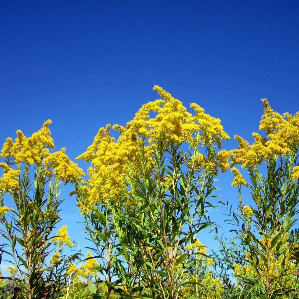 Canadian Goldenrod Essential Oil