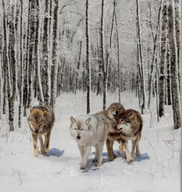 Cadre Loups DEL 16 x 20 Touch