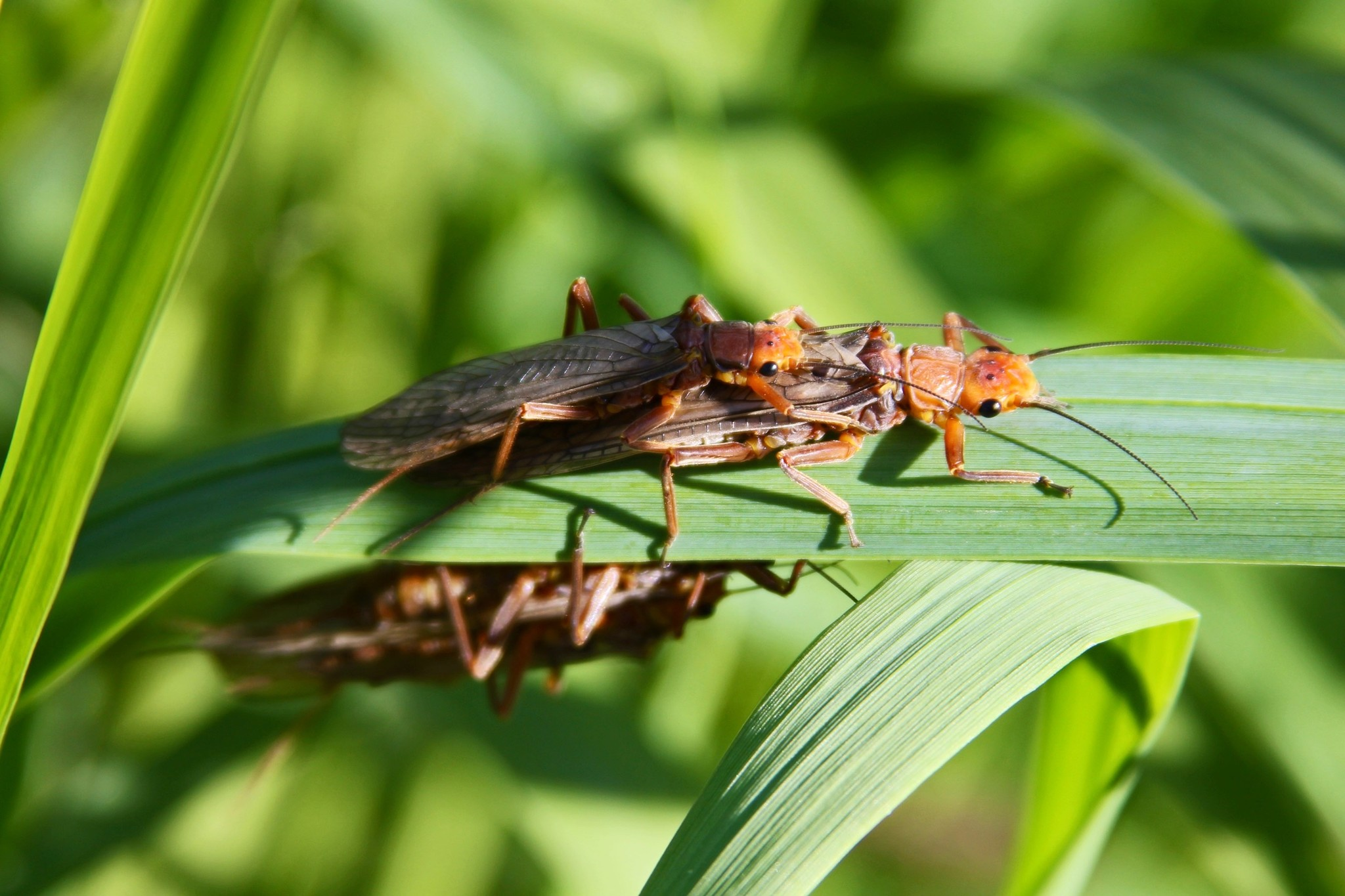 Countdown to the Salmonfly Hatch