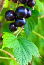 Black Currant Dark Balsamic Condimento
