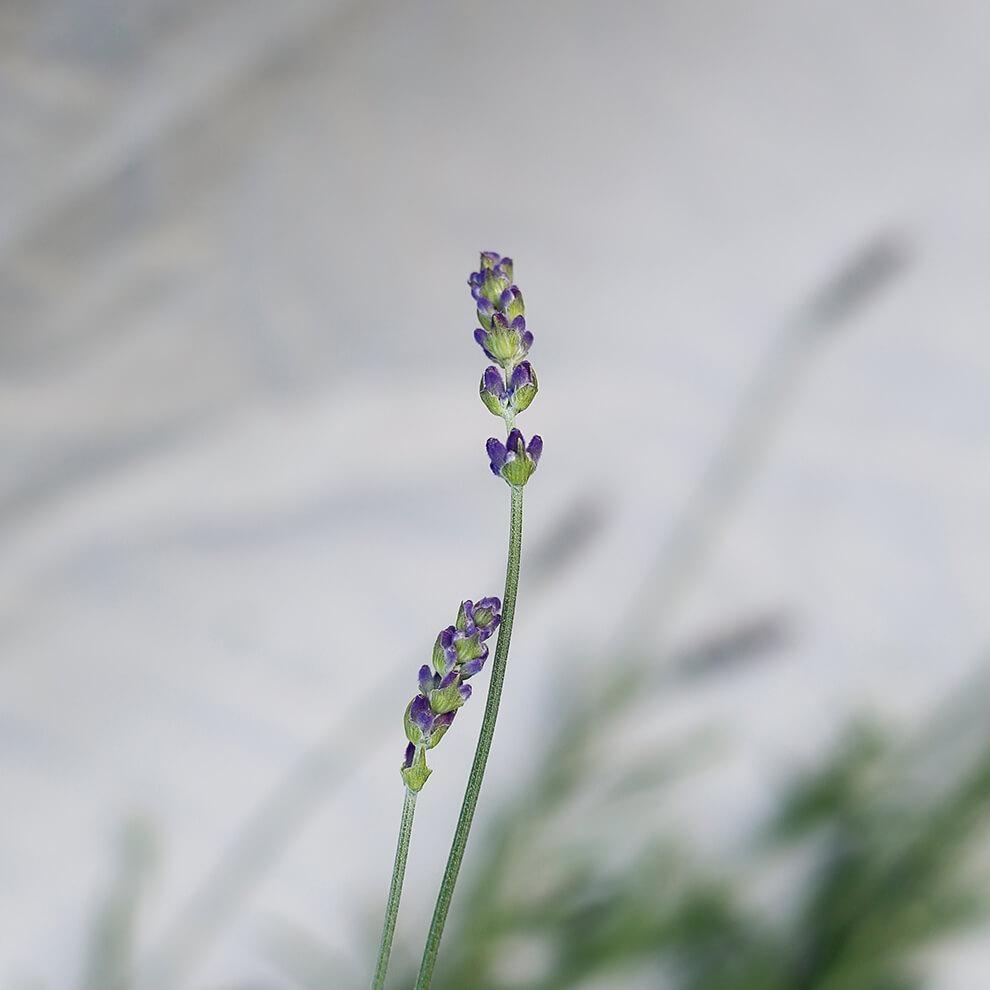 Vitruvi Organic Lavender Essential Oil