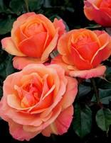 Rose 'Annas Promise'