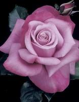 Rose 'Barbara Streisand'