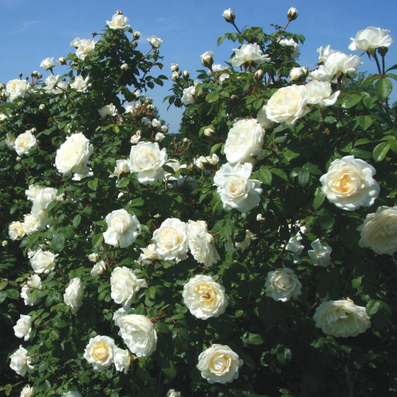 Rose 'Cloud 10 Climber'