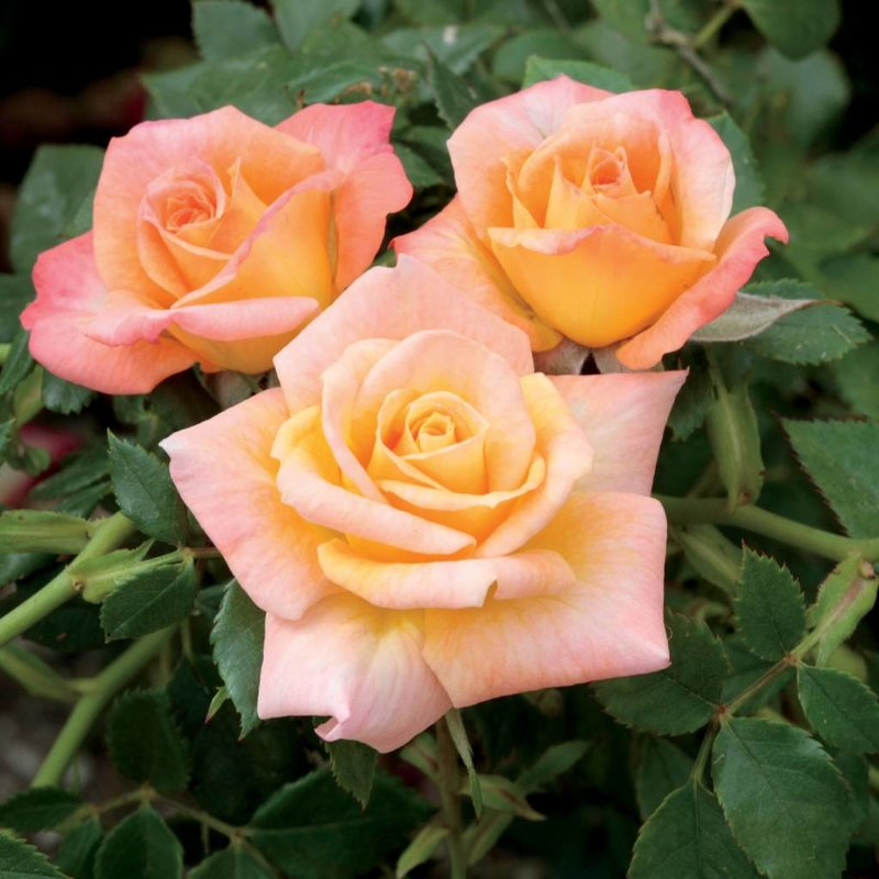 Rose 'Cutie Pie Miniature'