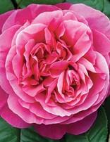Rose 'Dee-Lish'