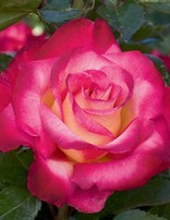 Rose 'Dick Clark'